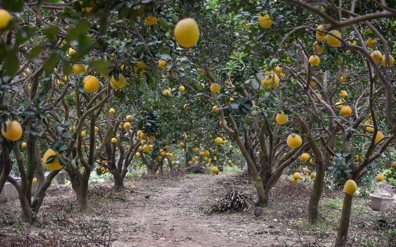 Thanh Hóa: Anh nông dân thu 5 tỷ đồng mỗi năm nhờ 3.000 gốc bưởi Diễn - Ảnh 6.