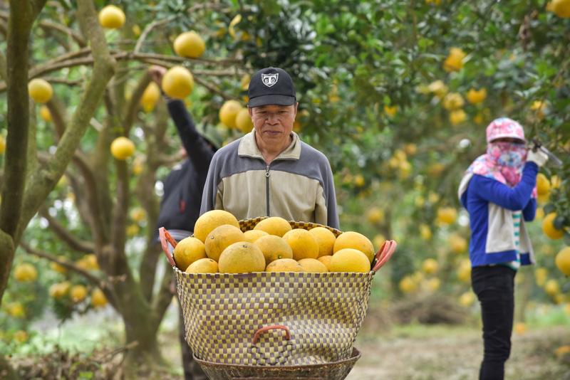 Thanh Hóa: Anh nông dân thu 5 tỷ đồng mỗi năm nhờ 3.000 gốc bưởi Diễn - Ảnh 3.
