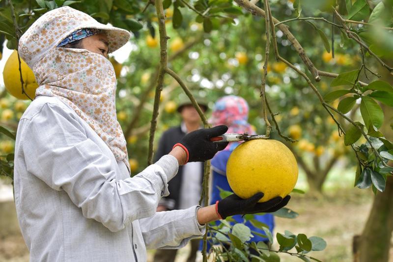 Thanh Hóa: Anh nông dân thu 5 tỷ đồng mỗi năm nhờ 3.000 gốc bưởi Diễn - Ảnh 4.