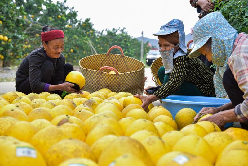 Thanh Hóa: Anh nông dân thu 5 tỷ đồng mỗi năm nhờ 3.000 gốc bưởi Diễn - Ảnh 5.