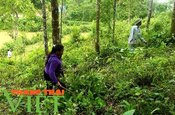 """Lợi ích """"kép"""" từ phát triển kinh tế rừng ở Điện Biên - Ảnh 1."""