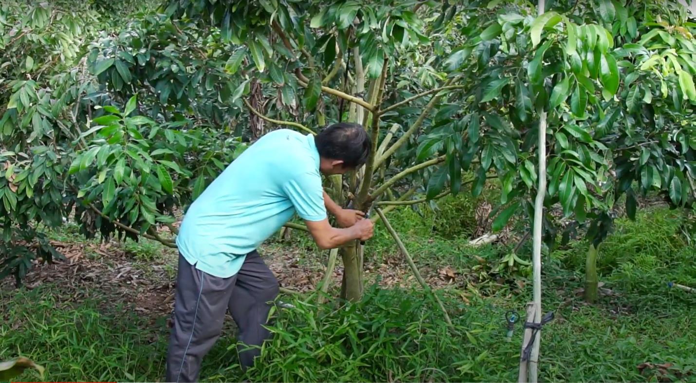 """Bí kíp chăm sóc cây nhãn sau thu hoạch: Không còn tình trạng """"Năm ăn quả, năm trả cành"""" - Ảnh 1."""