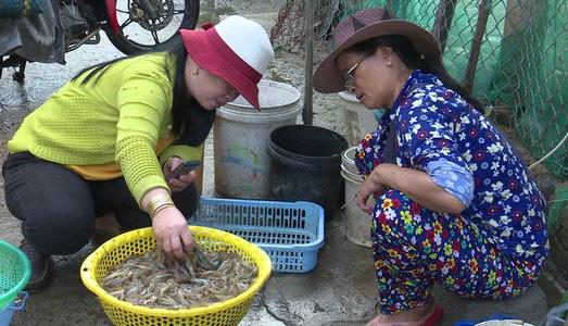 Phú Yên: Thứ tôm đặc sản bất ngờ bơi dày đặc ở đầm Ô Loan, nông dân rủ nhau đi bắt, có người trúng đậm - Ảnh 1.