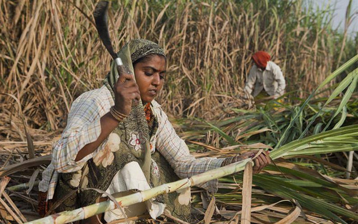 WTO sắp giải quyết loạt khiếu nại về trợ cấp mía đường của Ấn Độ - Ảnh 1.