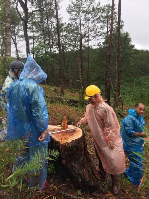 Bắt tạm giam một đối tượng, điều tra vụ phá rừng, cưa hạ 29 cây thông 3 lá - Ảnh 2.