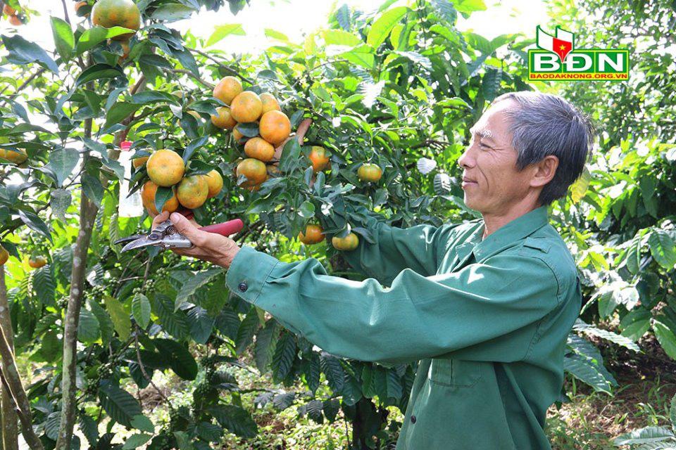 Đắk Nông: Đem canh Canh trồng xen cà phê, ban đầu lo lo, sau ông nông dân bất ngờ vì nhiều người đến xem - Ảnh 1.