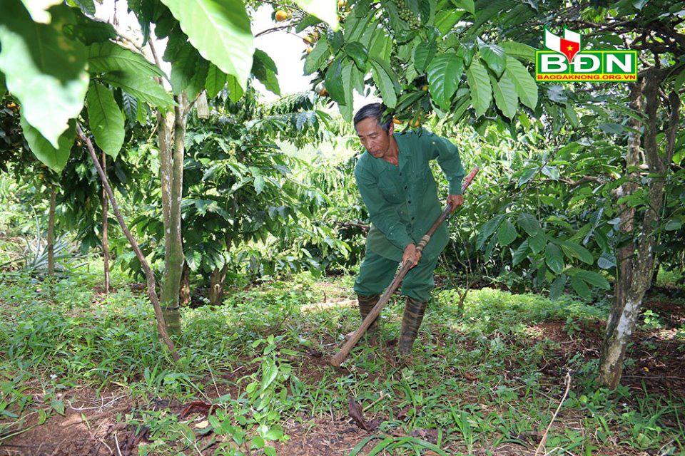 Đắk Nông: Đem canh Canh trồng xen cà phê, ban đầu lo lo, sau ông nông dân bất ngờ vì nhiều người đến xem - Ảnh 3.