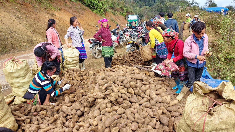 Lào Cai: Loại củ nhổ 1 gốc lên cả chùm, nhiều củ nặng tới 5kg, dân ở đây bán thu cả chục tỷ đồng - Ảnh 1.