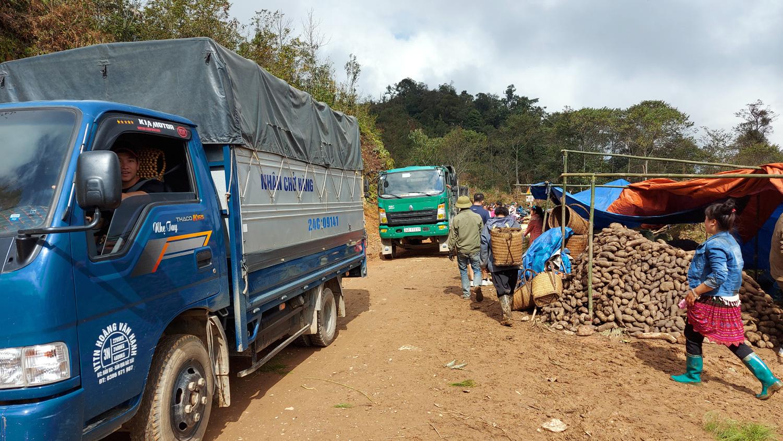 Lào Cai: Loại củ nhổ 1 gốc lên cả chùm, nhiều củ nặng tới 5kg, dân ở đây bán thu cả chục tỷ đồng - Ảnh 2.