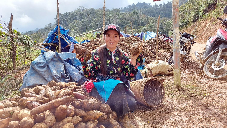 Lào Cai: Loại củ nhổ 1 gốc lên cả chùm, nhiều củ nặng tới 5kg, dân ở đây bán thu cả chục tỷ đồng - Ảnh 3.