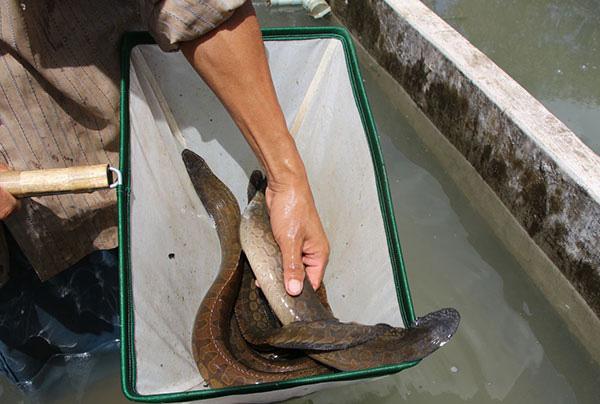 """Hậu Giang: Một ông nông dân tỷ phú nuôi loài cá đặc sản ví như """"nhân sâm nước"""" mà kiếm tiền tỷ - Ảnh 4."""