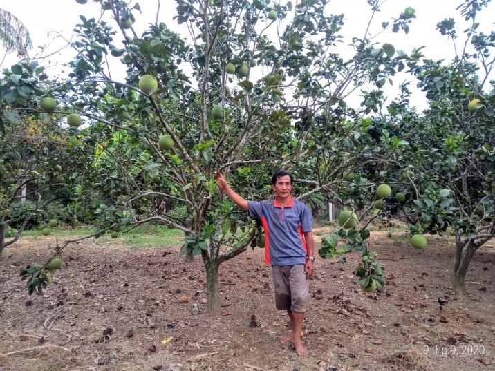 Phú Yên: Bỏ phố về làng dưỡng già, trồng bưởi da xanh chơi chơi, ai ngờ ra nhiều trái, bà con chòm xóm trồng theo - Ảnh 1.