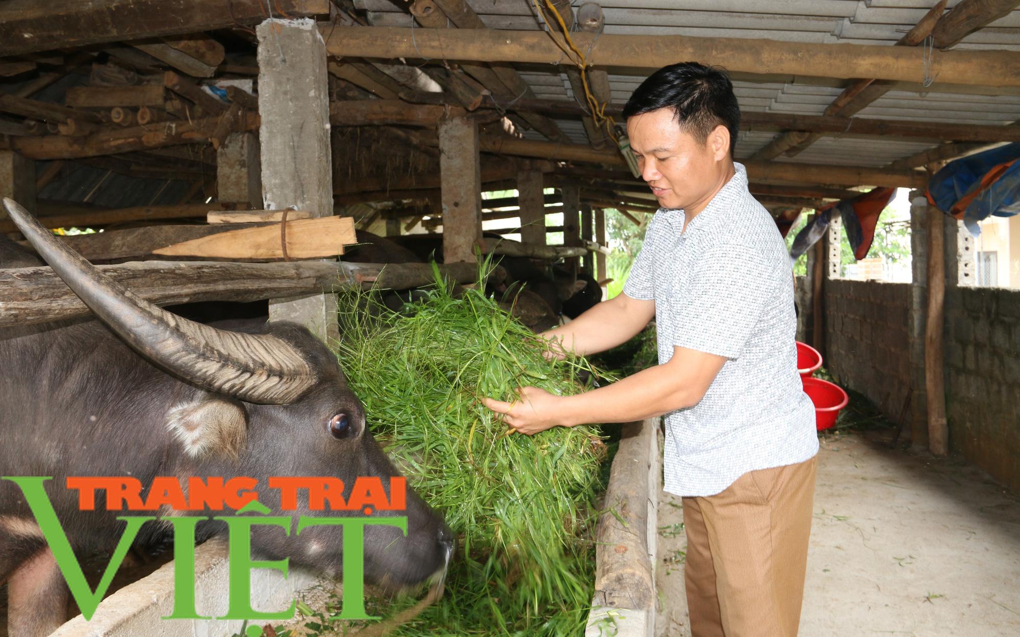 Hiệu quả mô hình nuôi trâu vỗ béo của Hội Nông dân xã Dũng Phong