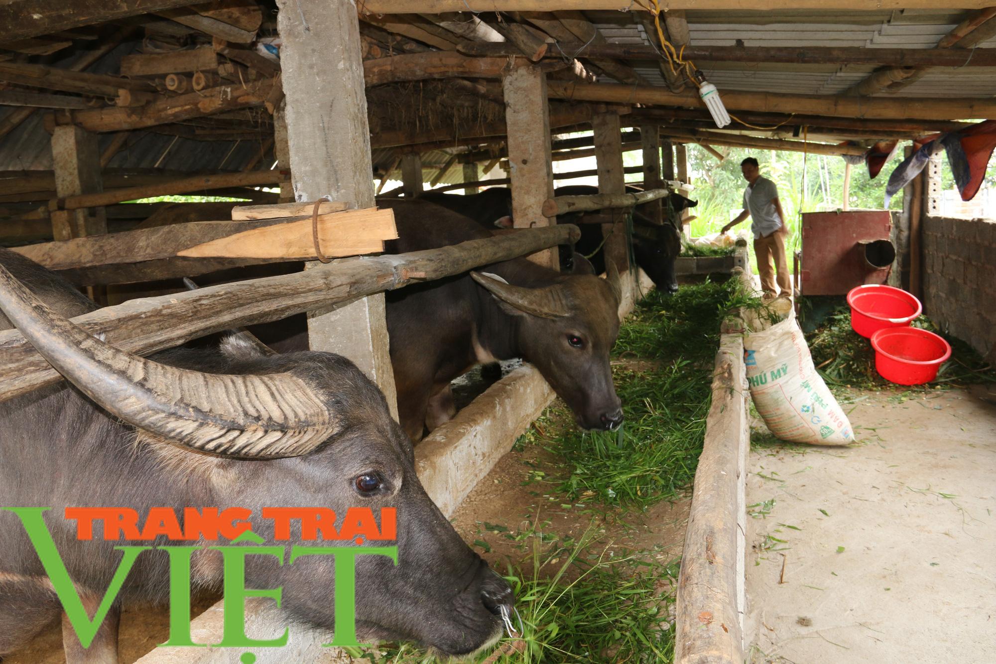 Hiệu quả mô hình nuôi trâu vỗ béo của Hội Nông dân xã Dũng Phong - Ảnh 5.