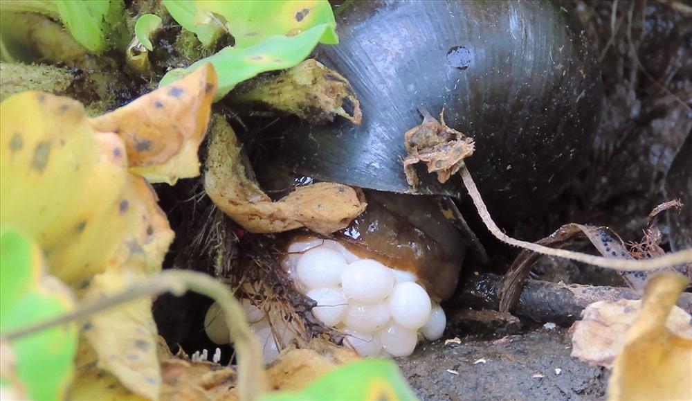 Nuôi loài ốc bươu đen, lão nông miền Tây đổi đời - Ảnh 15.