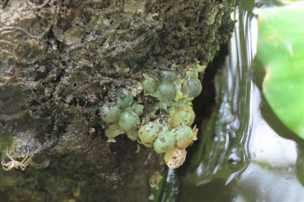 Nuôi loài ốc bươu đen, lão nông miền Tây đổi đời - Ảnh 18.