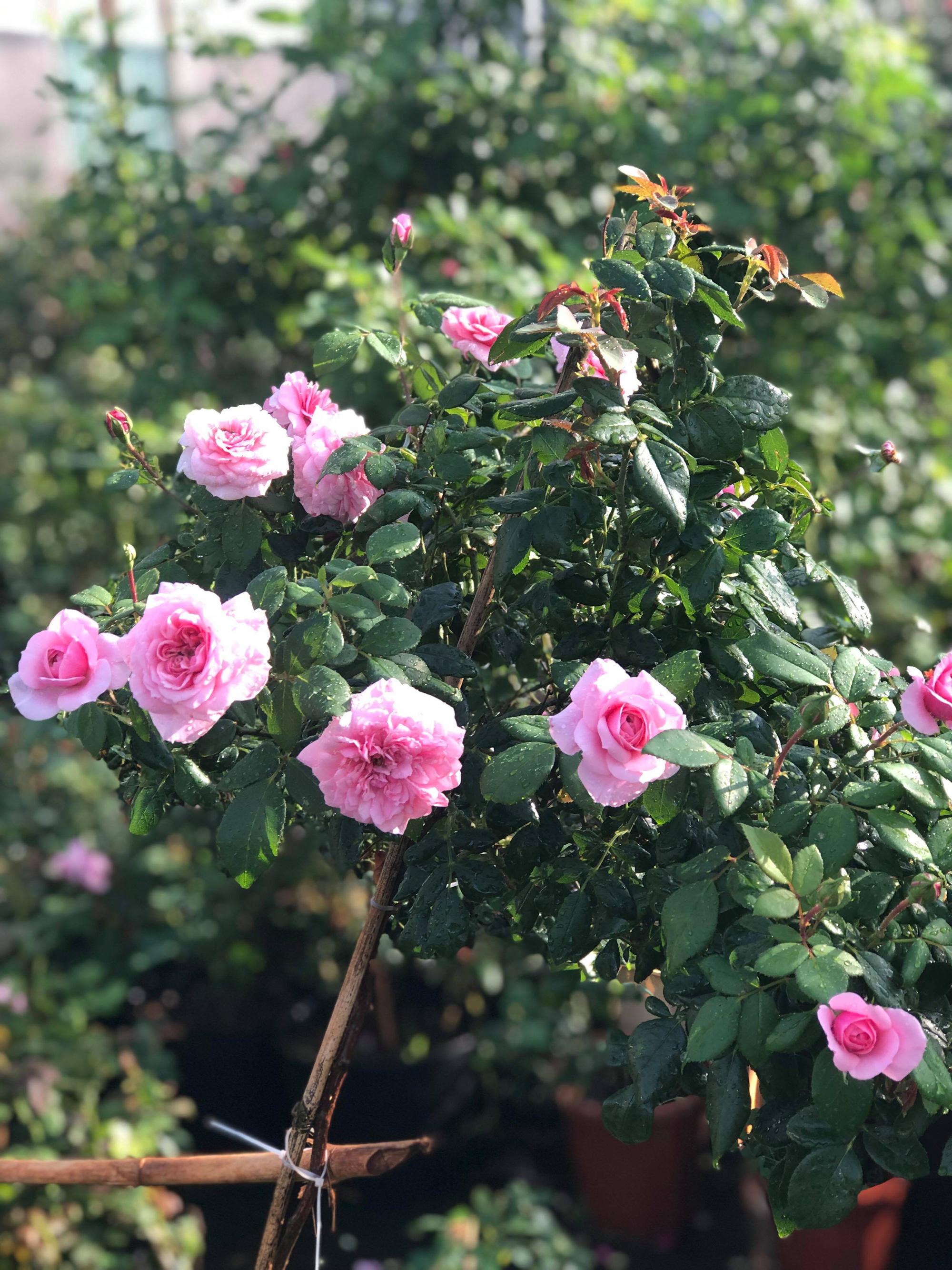Vườn hồng 400 loài đẹp ngẩn ngơ của kỹ sư bỏ phố về núi - Ảnh 5.