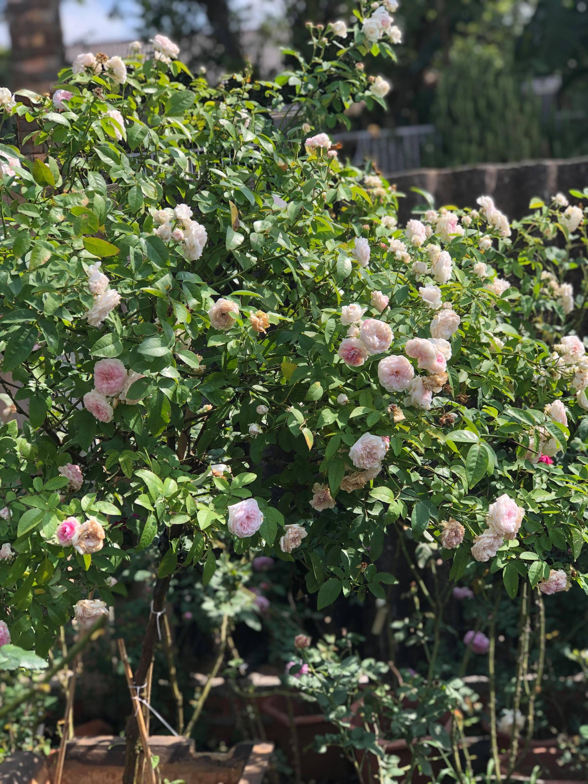 Vườn hồng 400 loài đẹp ngẩn ngơ của kỹ sư bỏ phố về núi - Ảnh 7.