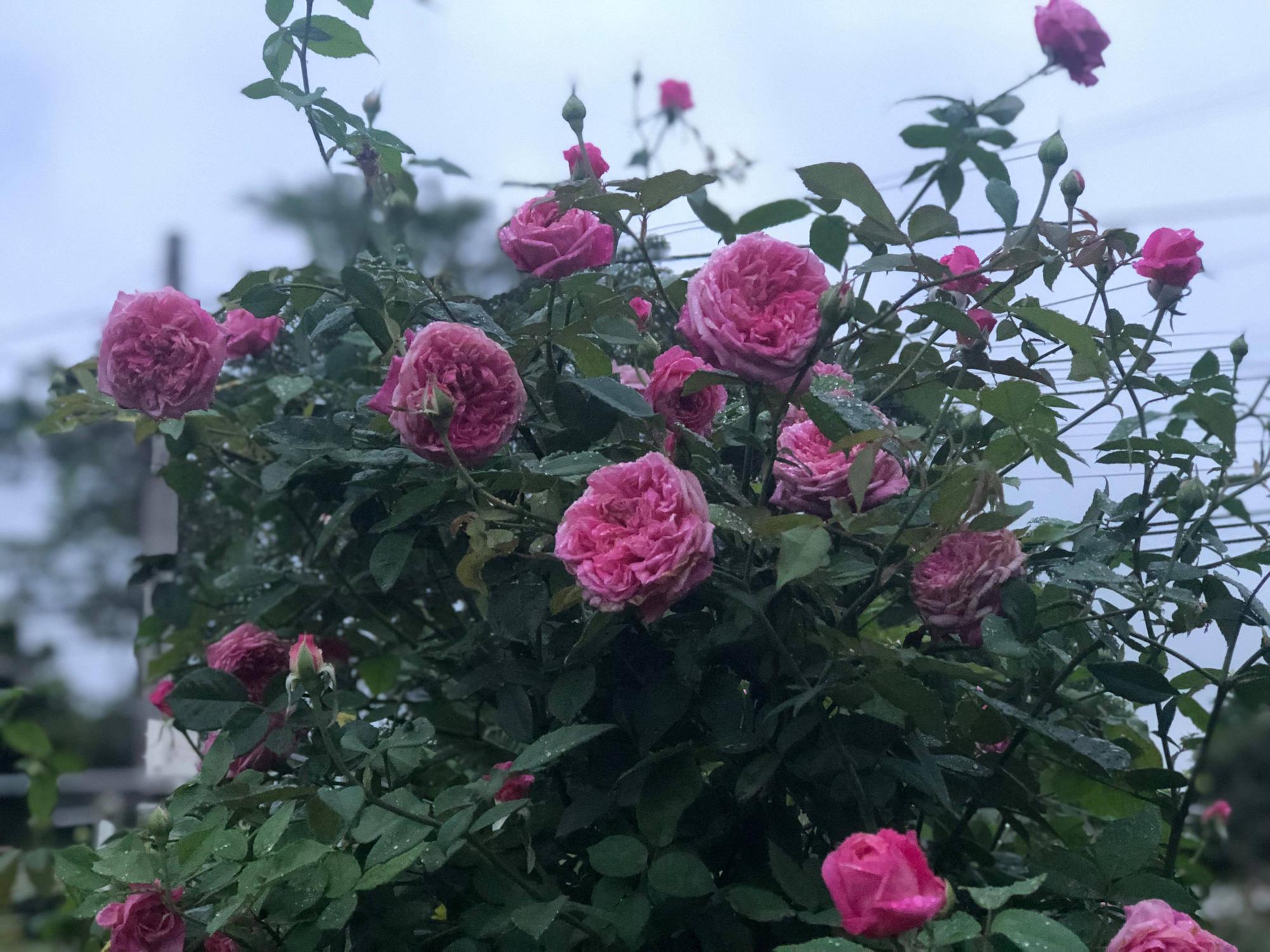 Vườn hồng 400 loài đẹp ngẩn ngơ của kỹ sư bỏ phố về núi - Ảnh 3.