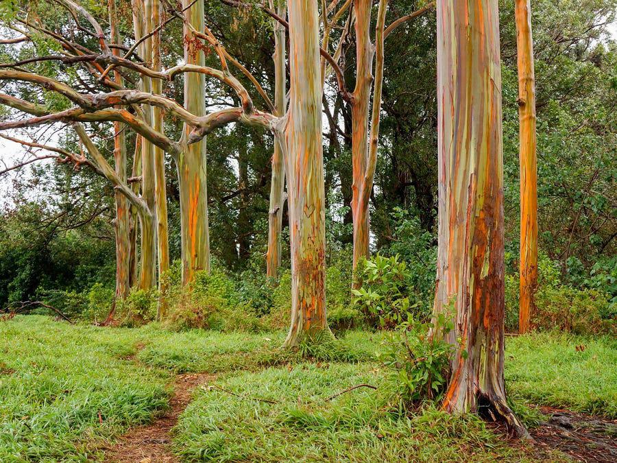 Bạch đàn bong tróc vỏ để lộ thân cây 7 sắc cầu vồng - Ảnh 7.