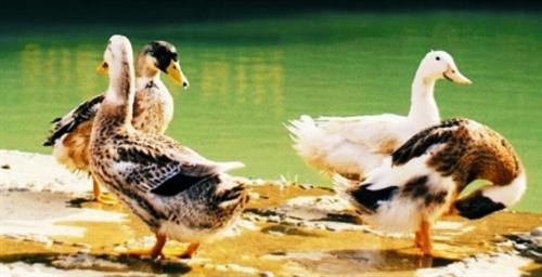 Vịt suối Cao Bằng, khắc mỏ, bấm móng chân, bơi lang thang, ngon đáo để - Ảnh 1.