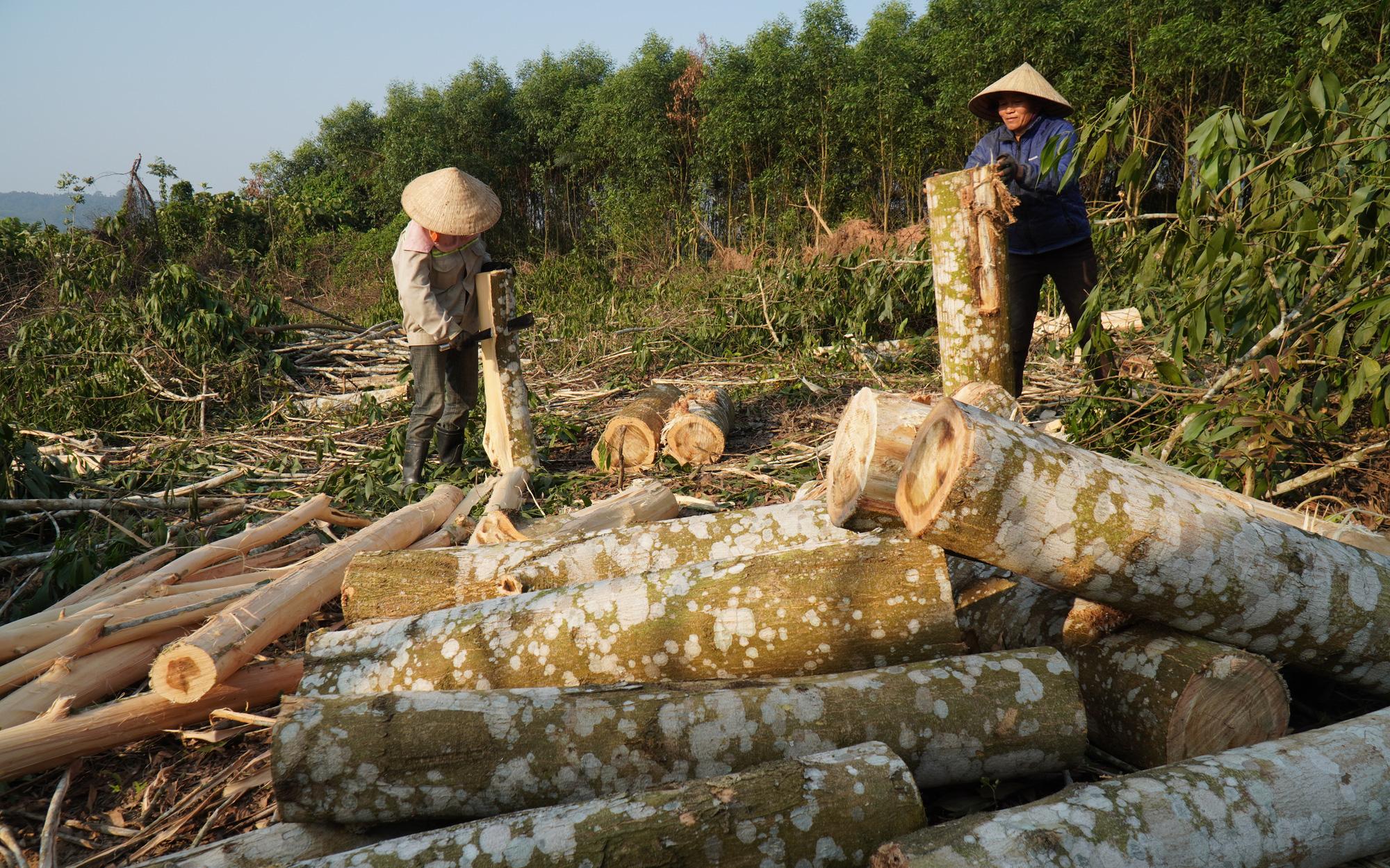 Quần quật chặt cưa, khuân vác gỗ cả ngày chỉ được 150.000 đồng