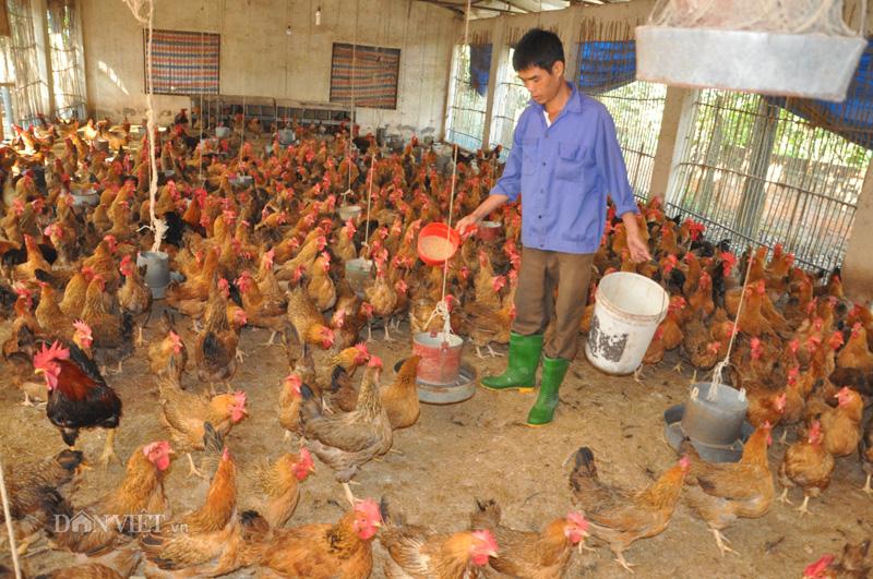 Cho gà ăn thảo dược vừa phòng cúm A/H5N1, vừa bán được giá cao - Ảnh 2.