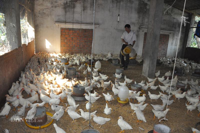 Cho gà ăn thảo dược vừa phòng cúm A/H5N1, vừa bán được giá cao - Ảnh 4.