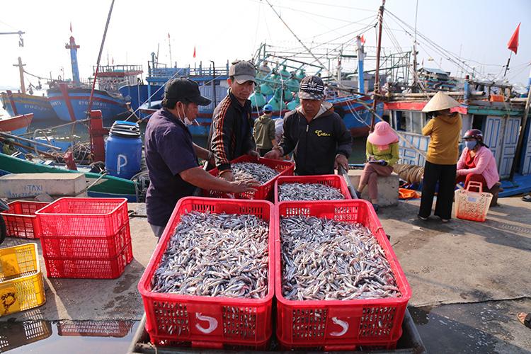 Ngư dân được mùa cá cơm - Ảnh 1.