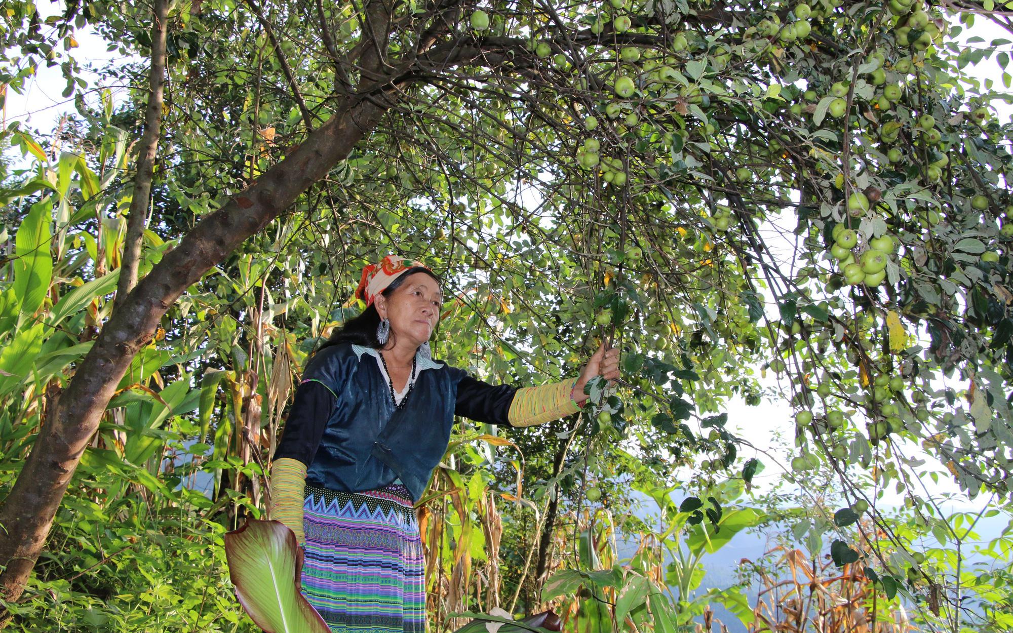 Nông dân Mường La thoát nghèo từ trồng cây ăn quả trên đất dốc