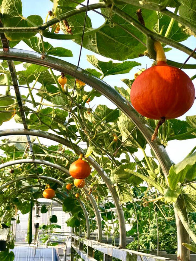 """Choáng với trang trại nuôi trồng """"thập cẩm"""" trên nóc nhà giữa Thủ đô - Ảnh 4."""