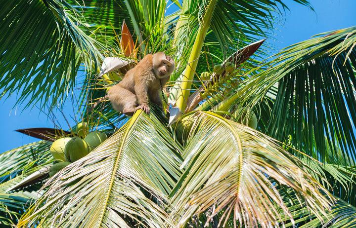 Phục sát đất chú khỉ thông minh hái hơn 20 trái dừa trong 15 phút - Ảnh 2.