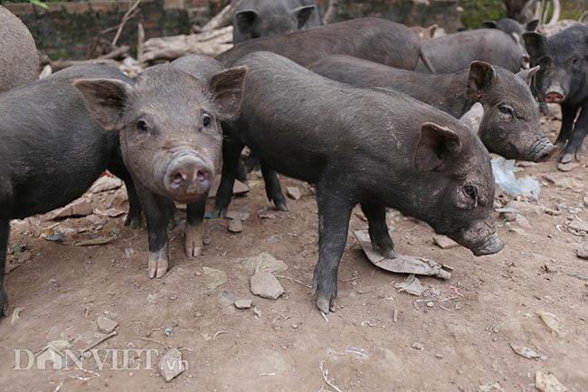 Lạ: Nuôi đàn lợn rừng giữa quận Đống Đa, thủ đô Hà Nội - Ảnh 11.