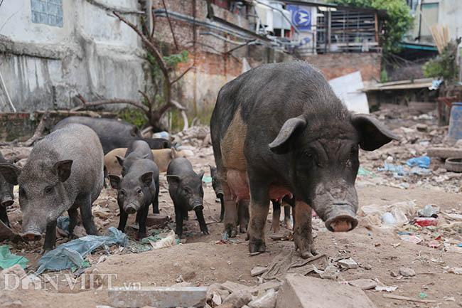 Lạ: Nuôi đàn lợn rừng giữa quận Đống Đa, thủ đô Hà Nội - Ảnh 2.