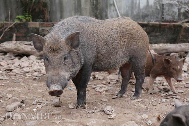 Lạ: Nuôi đàn lợn rừng giữa quận Đống Đa, thủ đô Hà Nội - Ảnh 3.