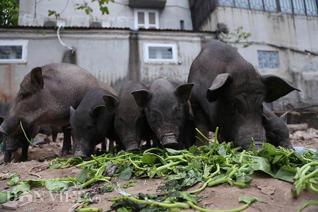 Lạ: Nuôi đàn lợn rừng giữa quận Đống Đa, thủ đô Hà Nội - Ảnh 5.