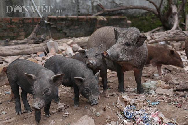 Lạ: Nuôi đàn lợn rừng giữa quận Đống Đa, thủ đô Hà Nội - Ảnh 6.