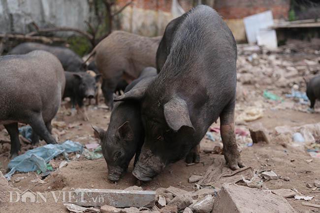 Lạ: Nuôi đàn lợn rừng giữa quận Đống Đa, thủ đô Hà Nội - Ảnh 7.