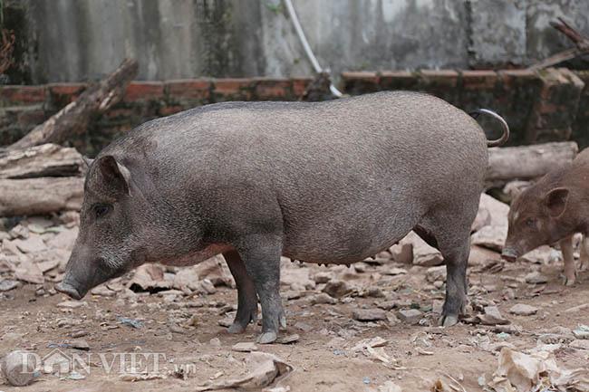 Lạ: Nuôi đàn lợn rừng giữa quận Đống Đa, thủ đô Hà Nội - Ảnh 8.