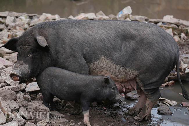Lạ: Nuôi đàn lợn rừng giữa quận Đống Đa, thủ đô Hà Nội - Ảnh 9.