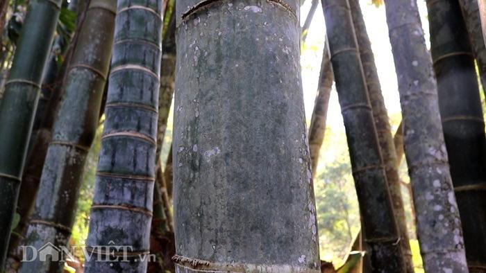 """Đi tìm loài tre khổng lồ ví như """"báu vật"""" trên đỉnh núi thiêng Sơn La - Ảnh 3."""