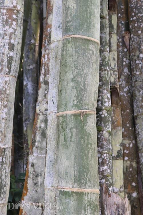 """Đi tìm loài tre khổng lồ ví như """"báu vật"""" trên đỉnh núi thiêng Sơn La - Ảnh 7."""