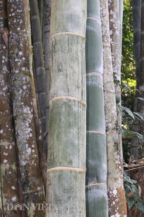 """Đi tìm loài tre khổng lồ ví như """"báu vật"""" trên đỉnh núi thiêng Sơn La - Ảnh 10."""