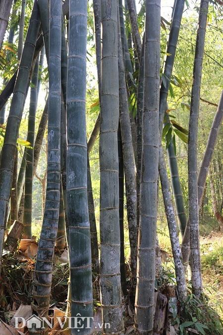 """Đi tìm loài tre khổng lồ ví như """"báu vật"""" trên đỉnh núi thiêng Sơn La - Ảnh 9."""