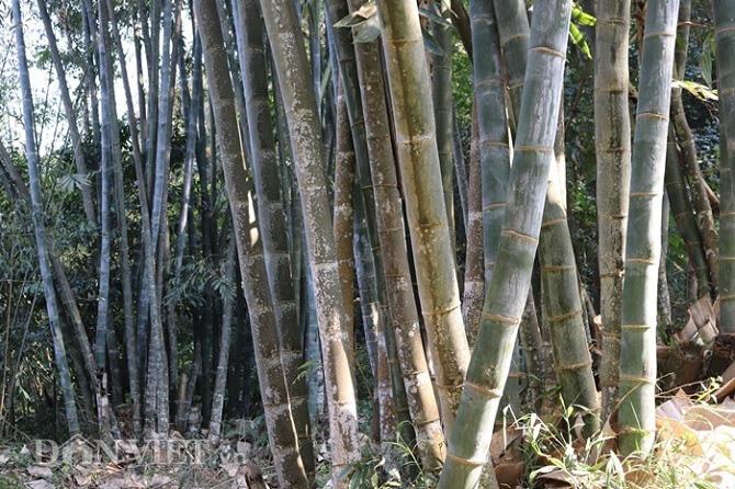 """Đi tìm loài tre khổng lồ ví như """"báu vật"""" trên đỉnh núi thiêng Sơn La - Ảnh 11."""