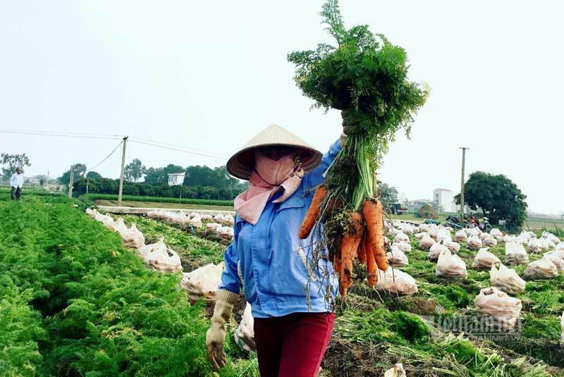 Nông dân kể chuyện chia nhau 100 tỷ trên cánh đồng rực đỏ - Ảnh 1.