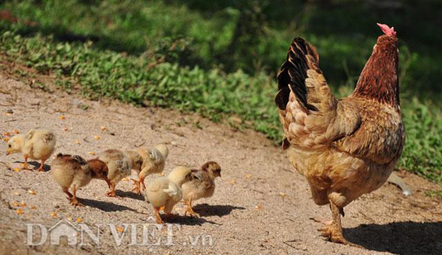 Về vùng đất thiêng nuôi gà chín cựa  - Ảnh 5.