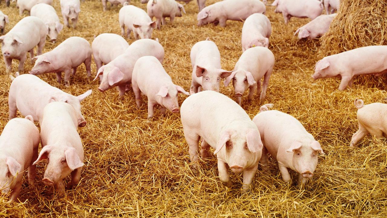 """Giá heo hơi hôm nay 6/4: Vẫn cao, 15 DN chưa đủ sức """"can thiệp"""" đến giá lợn? - Ảnh 1."""