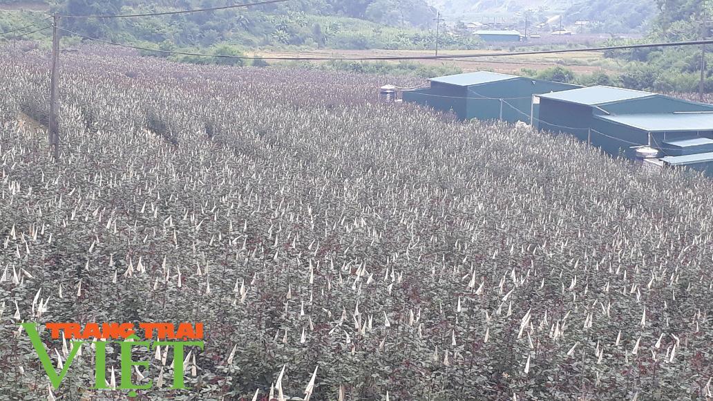 Lại Châu: Hiệu quả từ đề án phát triển sản xuất nông nghiệp hàng hóa - Ảnh 3.