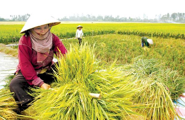 Năng lực sản xuất gạo của Việt Nam hiện tại ra sao? - Ảnh 2.
